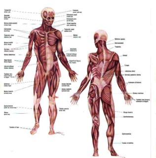 anatomy open lab - lab practical i, Muscles